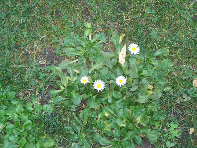 Lawn daisies