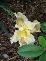 Yellow_pacifica_iris