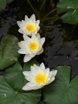 3_water_lilies