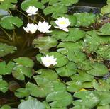 5_water_lilies