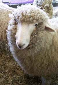 Rhinebeck_sheep_1