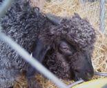 Angora_goat_1